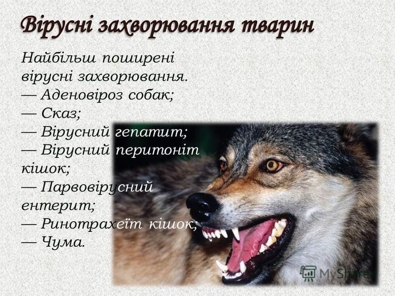 Найбільш поширені вірусні захворювання. Аденовіроз собак; Сказ; Вірусний гепатит; Вірусний перитоніт кішок; Парвовірусний ентерит; Ринотрахеїт кішок; Чума.