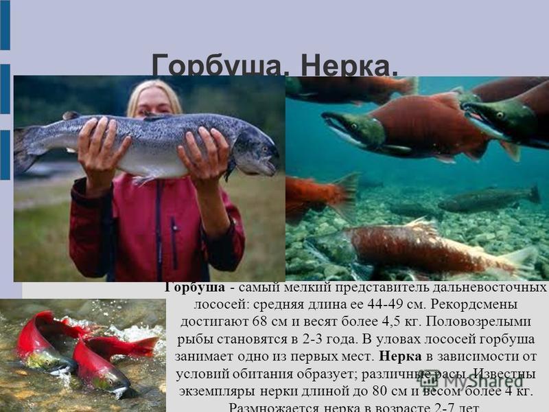 Презентация на тему:  промысловое значение рыб автор: игнатьева светлана викторовна