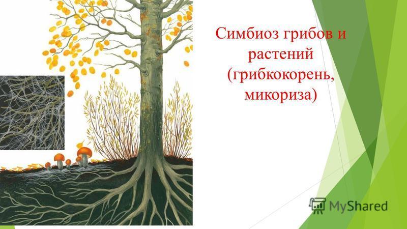 Симбиоз грибов и растений (грибокорень, микориза)