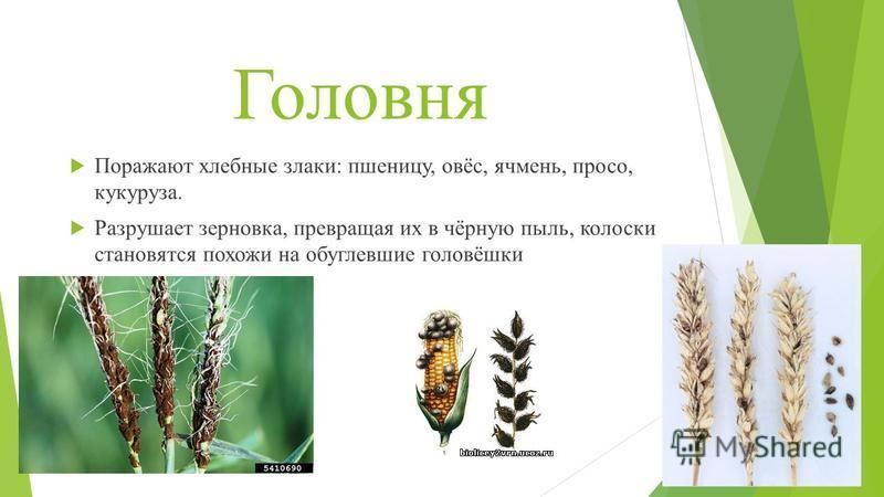 Головня Поражают хлебные злаки: пшеницу, овёс, ячмень, просо, кукуруза. Разрушает зерновка, превращая их в чёрную пыль, колоски становятся похожи на обуглевшие головёшки