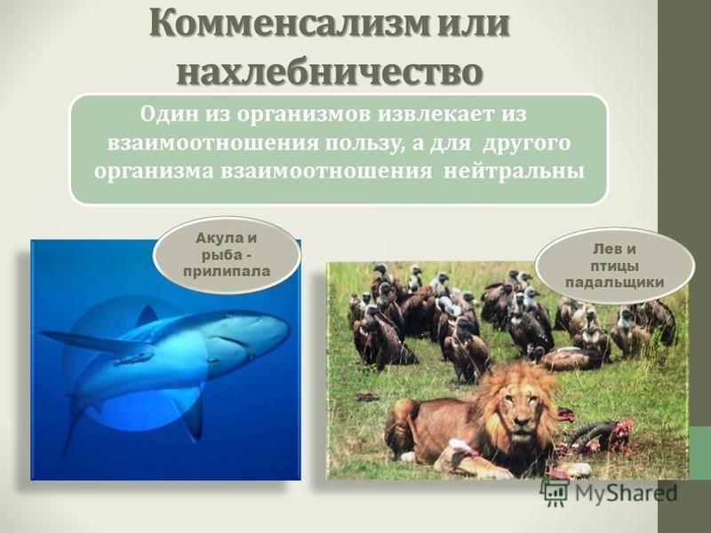 Комменсализм или нахлебничество Один из организмов извлекает из взаимоотношения пользу, а для другого организма взаимоотношения нейтральны Акула и рыба - прилипала Лев и птицы падальщики