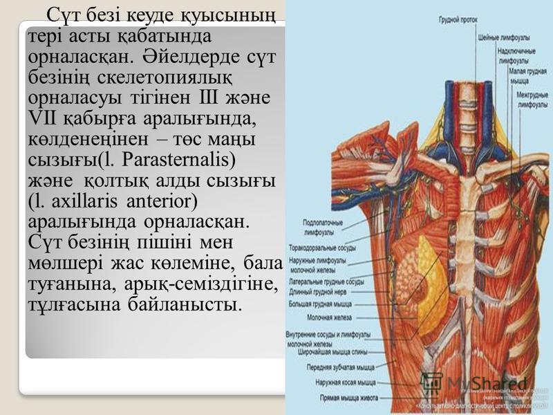 Сүт безі куеде қуысының тері асты қабатында орналасқан. Әйелдерде сүт безінің скелетопиялық орналасуы тігінен ІІІ және VII қабырға аралығында, көлденеңінен – төс маңы сызығы(l. Parasternalis) және қолтық аллоды сызығы (l. axillaris anterior) аралығын