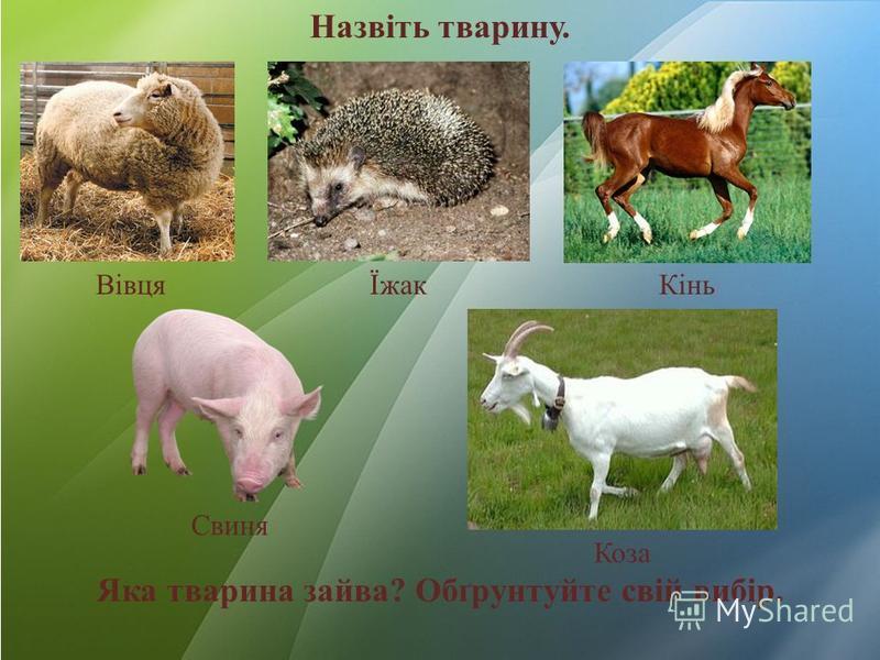 Назвіть тварину. ВівцяЇжакКінь Свиня Коза Яка тварина зайва? Обґрунтуйте свій вибір.