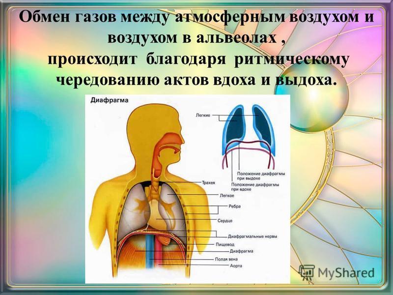 Обмен газов между атмосферным воздухом и воздухом в альвеолах, происходит благодаря ритмическому чередованию актов вдоха и выдоха.
