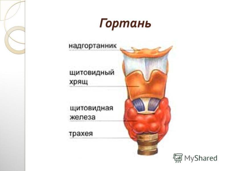 Гортань