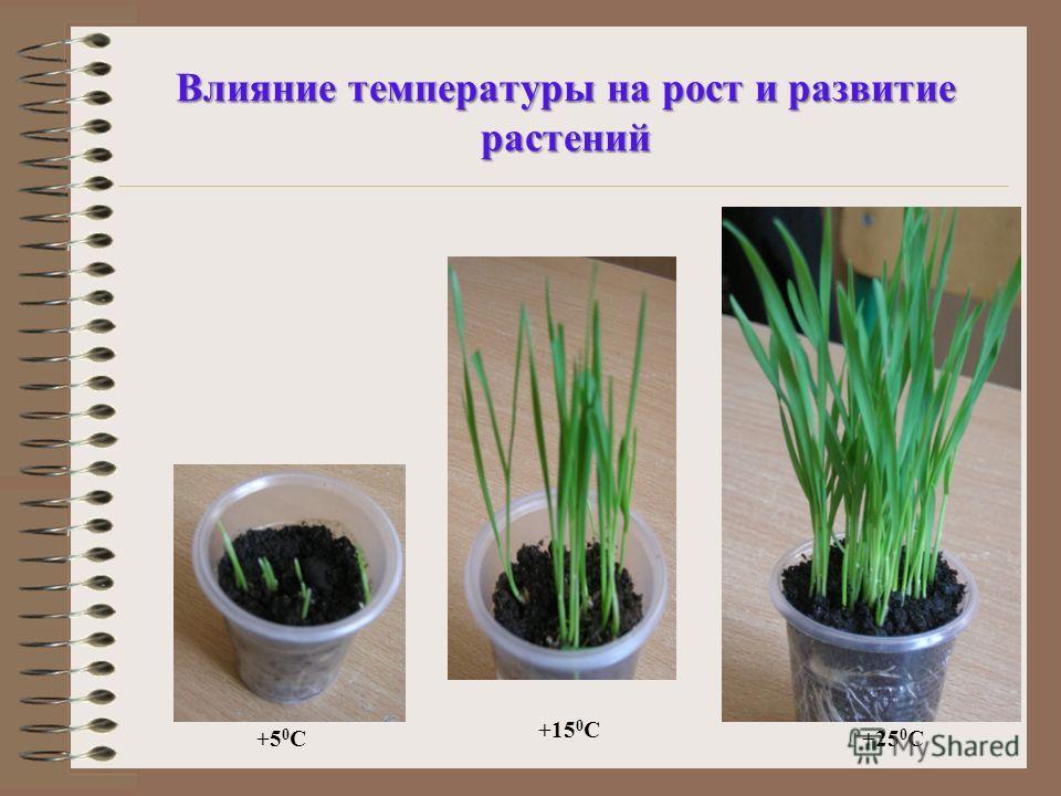 Влияние температуры на рост и развитие растений +5 0 С +15 0 С +25 0 С
