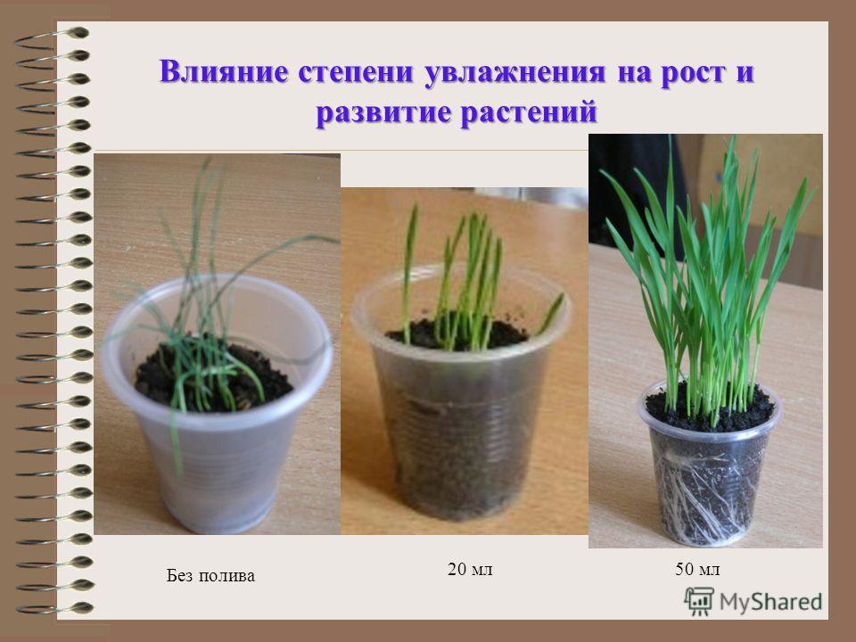 Влияние степени увлажнения на рост и развитие растений Без полива 20 мл50 мл