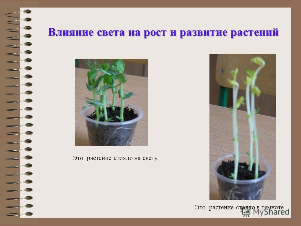Влияние света на рост и развитие растений Это растение стояло в темноте Это растение стояло на свету.