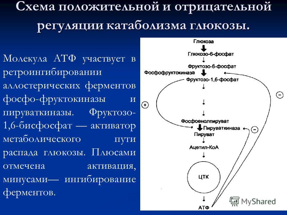 Схема положительной и отрицательной регуляции катаболизма глюкозы. Молекула АТФ участвует в ретроингибировании аллостерических ферментов фосфо-фруктокиназы и пируваткиназы. Фруктозо- 1,6-бисфосфат активатор метаболического пути распада глюкозы. Плюса