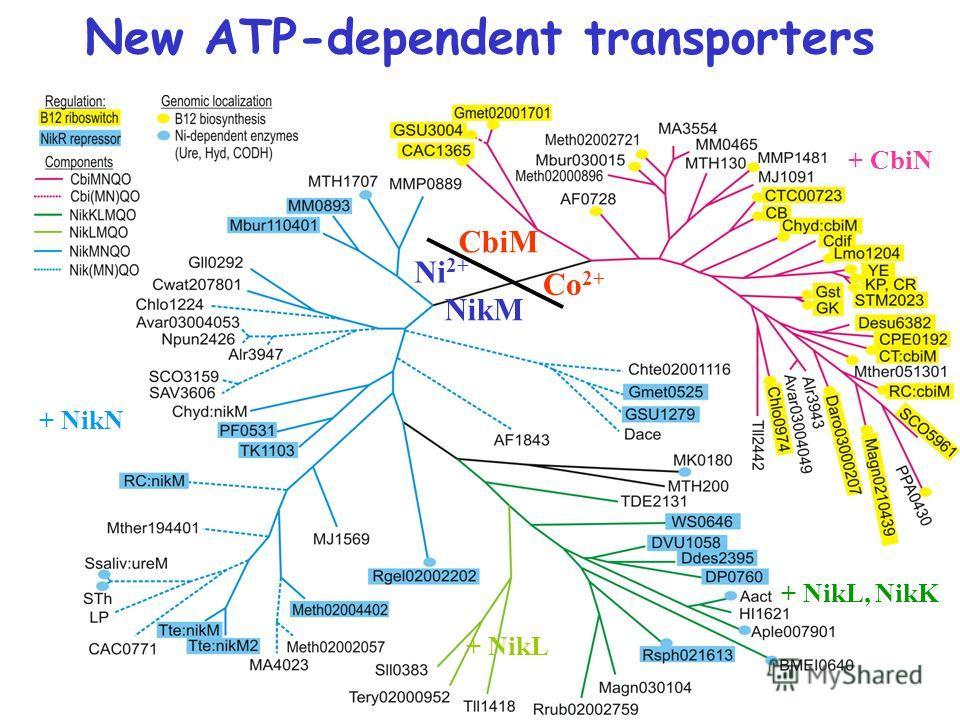 New ATP-dependent transporters NikM CbiM Ni 2+ Co 2+ + CbiN + NikL, NikK + NikN + NikL