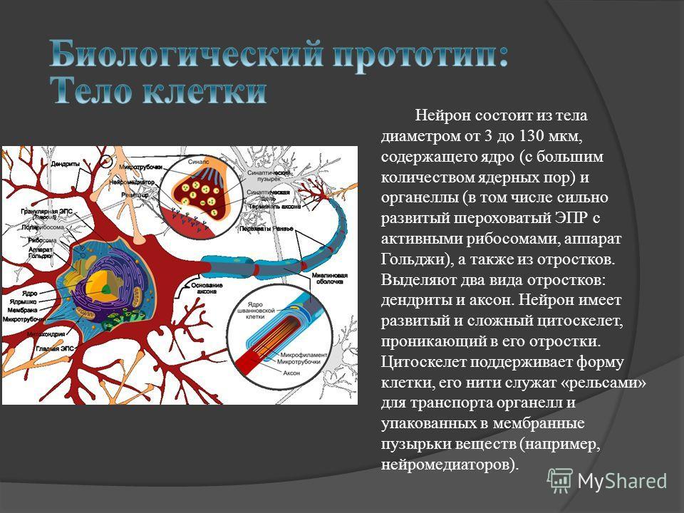 Нейрон состоит из тела диаметром от 3 до 130 мкм, содержащего ядро (с большим количеством ядерных пор) и органеллы (в том числе сильно развитый шероховатый ЭПР с активными рибосомами, аппарат Гольджи), а также из отростков. Выделяют два вида отростко
