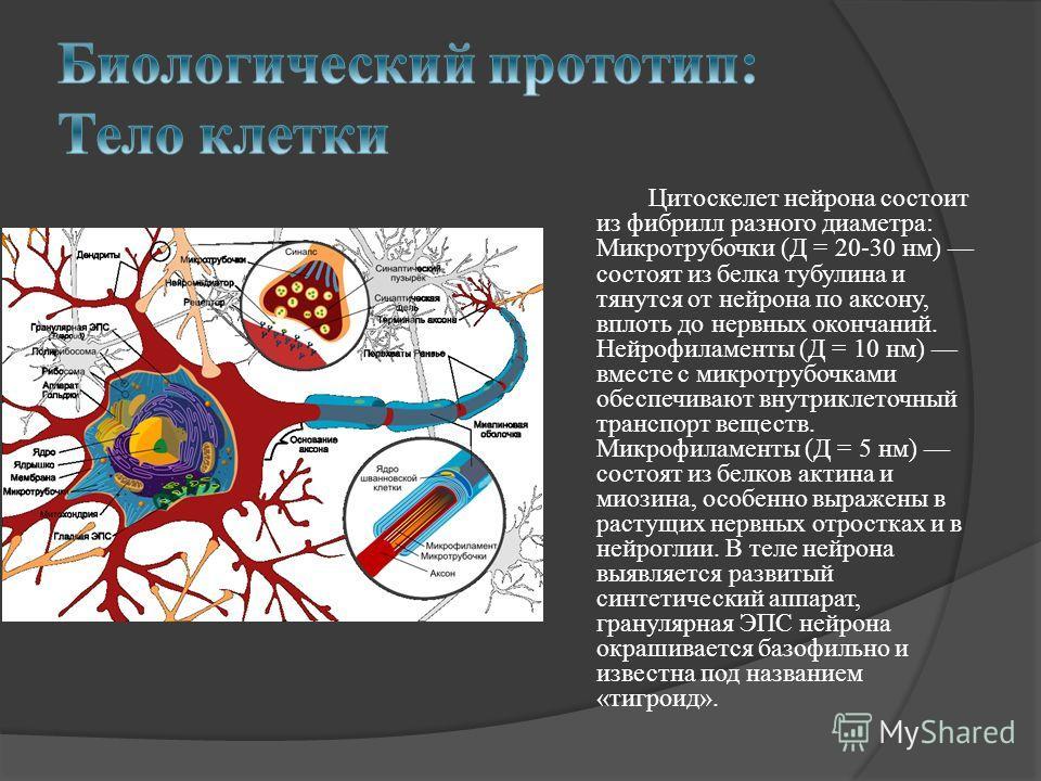 Цитоскелет нейрона состоит из фибрилл разного диаметра: Микротрубочки (Д = 20-30 нм) состоят из белка тубулина и тянутся от нейрона по аксону, вплоть до нервных окончаний. Нейрофиламенты (Д = 10 нм) вместе с микротрубочками обеспечивают внутриклеточн