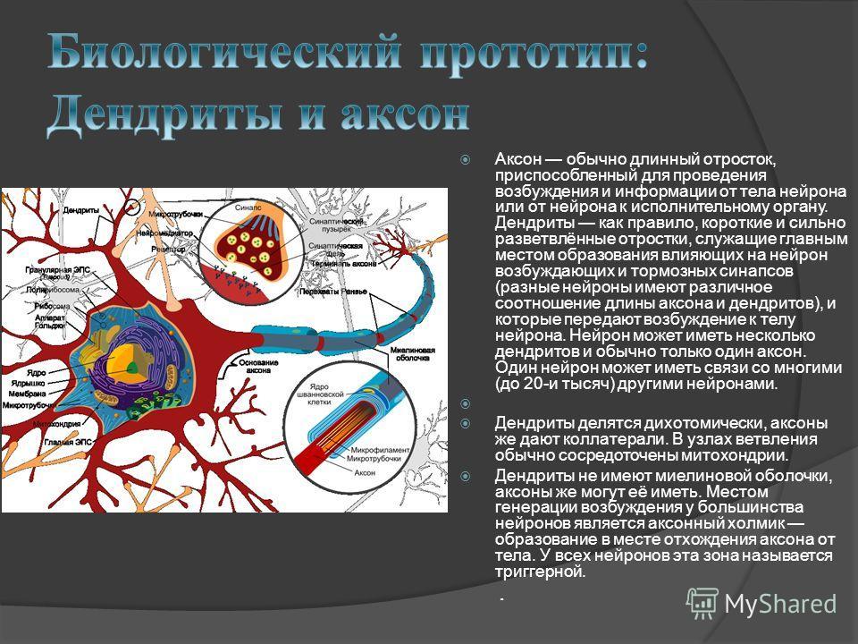 Аксон обычно длинный отросток, приспособленный для проведения возбуждения и информации от тела нейрона или от нейрона к исполнительному органу. Дендриты как правило, короткие и сильно разветвлённые отростки, служащие главным местом образования влияющ