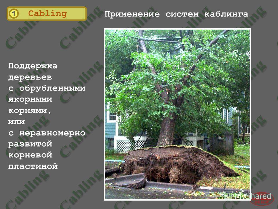 2004© www.udal.ru 410-44-45 1 Cabling Применение систем каблинга Поддержка деревьев с обрубленными якорными корнями, или с неравномерно развитой корневой пластиной