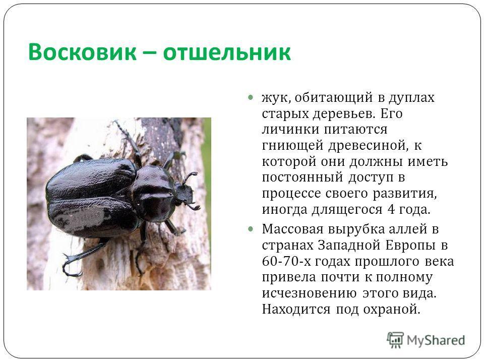 Восковик – отшельник жук, обитающий в дуплах старых деревьев. Его личинки питаются гниющей древесиной, к которой они должны иметь постоянный доступ в процессе своего развития, иногда длящегося 4 года. Массовая вырубка аллей в странах Западной Европы