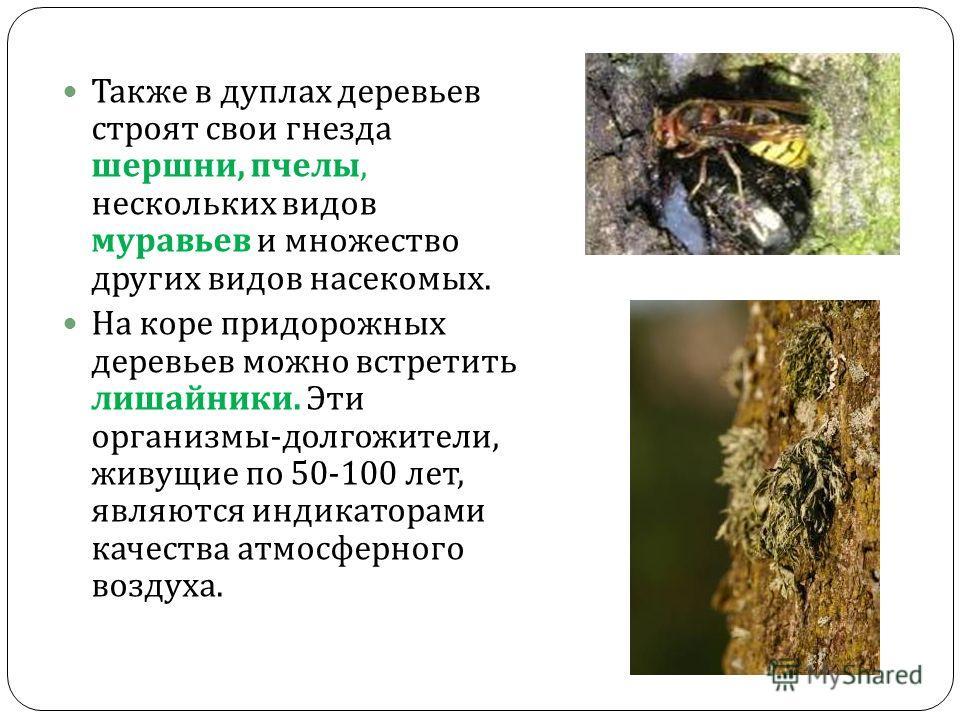 Также в дуплах деревьев строят свои гнезда шершни, пчелы, нескольких видов муравьев и множество других видов насекомых. На коре придорожных деревьев можно встретить лишайники. Эти организмы - долгожители, живущие по 50-100 лет, являются индикаторами
