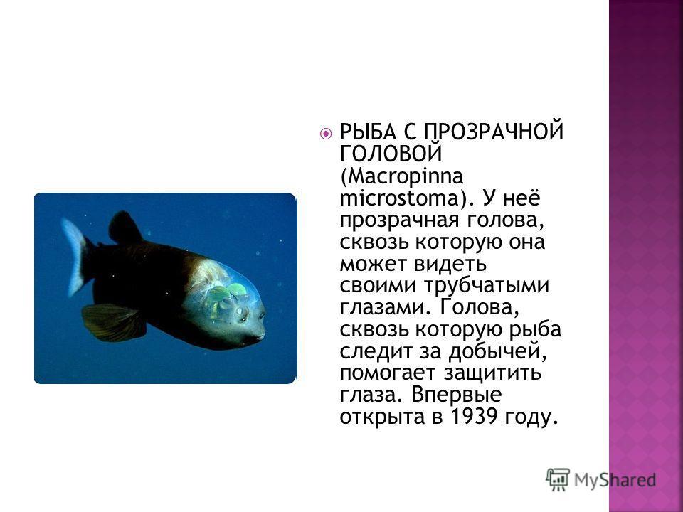 РЫБА С ПРОЗРАЧНОЙ ГОЛОВОЙ (Macropinna microstoma). У неё прозрачная голова, сквозь которую она может видеть своими трубчатыми глазами. Голова, сквозь которую рыба следит за добычей, помогает защитить глаза. Впервые открыта в 1939 году.