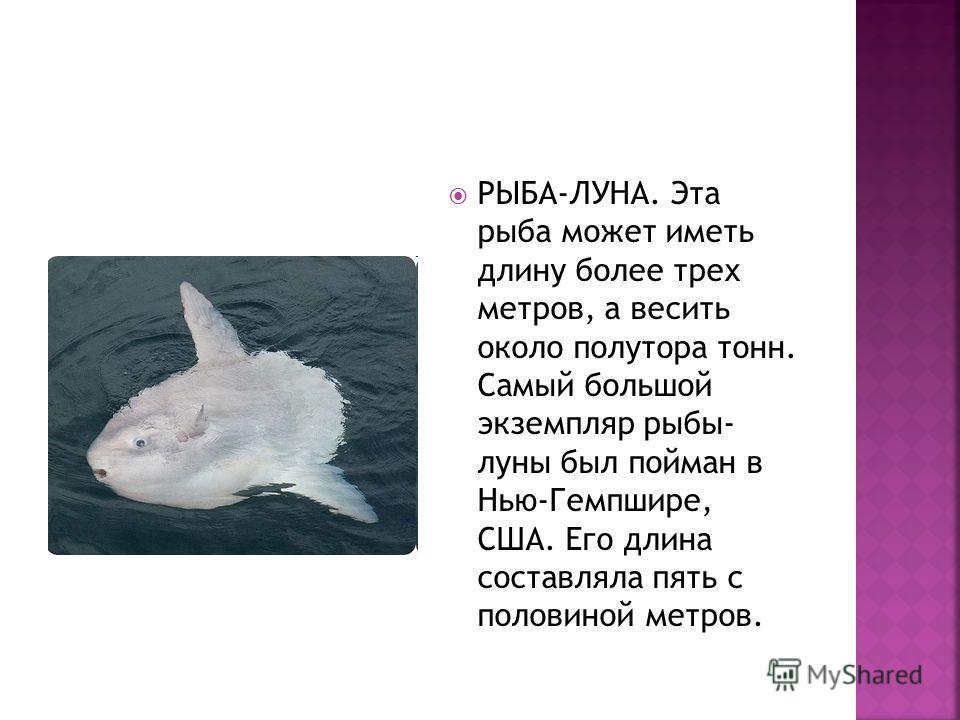 РЫБА-ЛУНА. Эта рыба может иметь длину более трех метров, а весить около полутора тонн. Самый большой экземпляр рыбы- луны был пойман в Нью-Гемпшире, США. Его длина составляла пять с половиной метров.