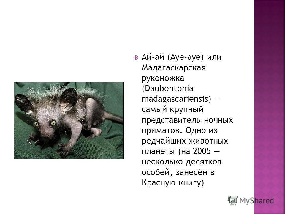 Ай-ай (Aye-aye) или Мадагаскарская руконожка (Daubentonia madagascariensis) самый крупный представитель ночных приматов. Одно из редчайших животных планеты (на 2005 несколько десятков особей, занесён в Красную книгу)