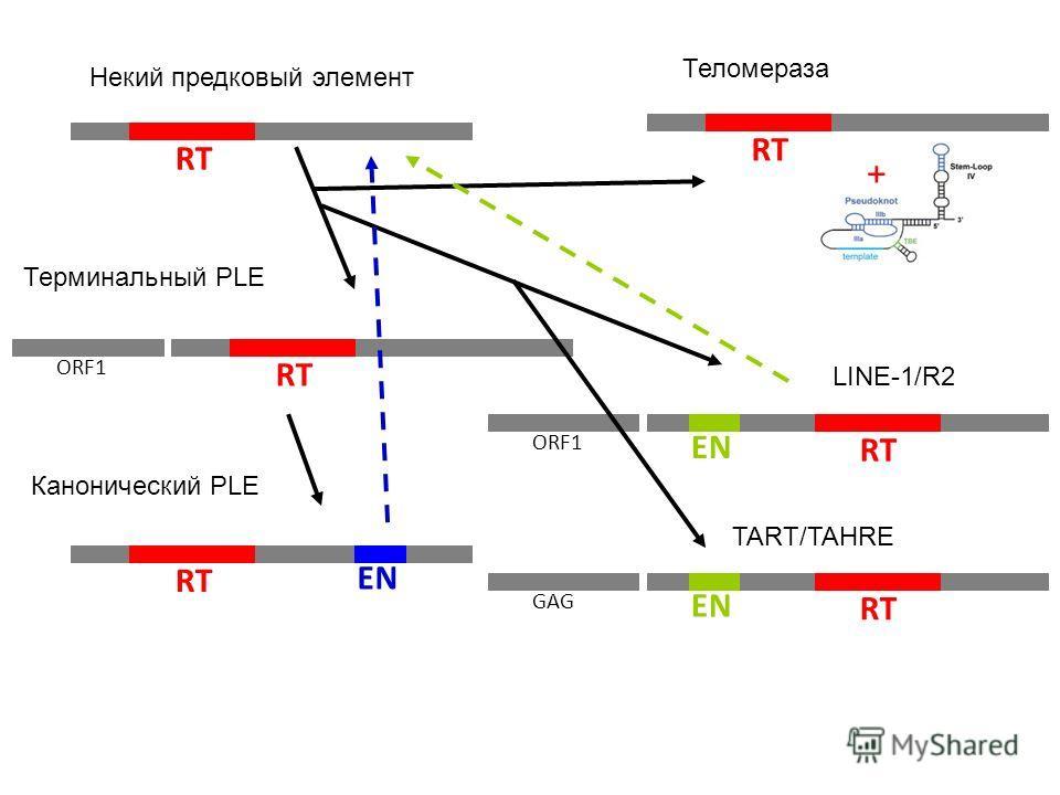 RT Некий предковый элемент Канонический PLE Терминальный PLE RT ORF1 RT EN RT + Теломераза ORF1 RT EN LINE-1/R2 GAG RT EN TART/TAHRE