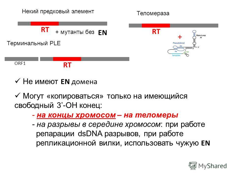 RT Некий предковый элемент Терминальный PLE RT ORF1 RT + Теломераза Не имеют EN домена Могут «копироваться» только на имеющийся свободный 3-ОН конец: - на концы хромосом – на теломеры - на разрывы в середине хромосом: при работе репарации dsDNA разры