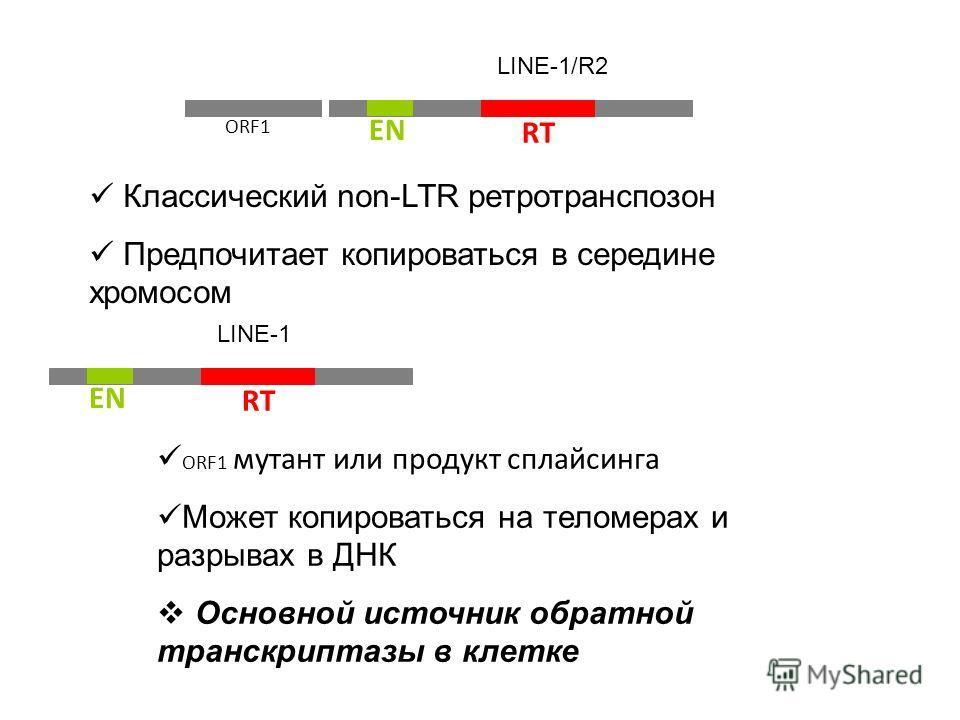 ORF1 RT EN LINE-1/R2 Классический non-LTR ретротранспозон Предпочитает копироваться в середине хромосом RT EN LINE-1 ORF1 мутант или продукт сплайсинга Может копироваться на теломерах и разрывах в ДНК Основной источник обратной транскриптазы в клетке