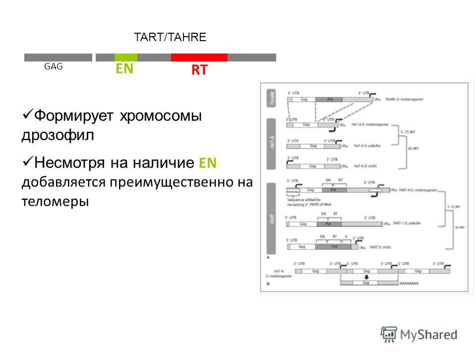 GAG RT EN TART/TAHRE Формирует хромосомы дрозофил Несмотря на наличие EN добавляется преимущественно на теломеры