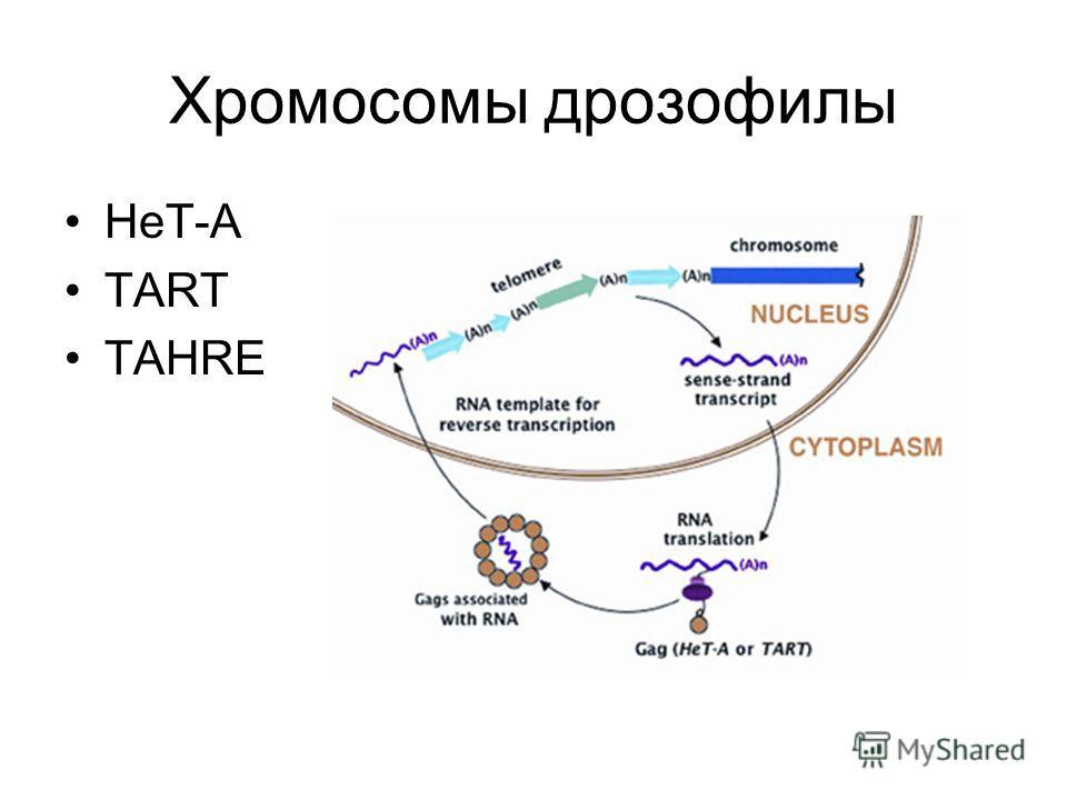 Хромосомы дрозофилы HeT-A TART TAHRE