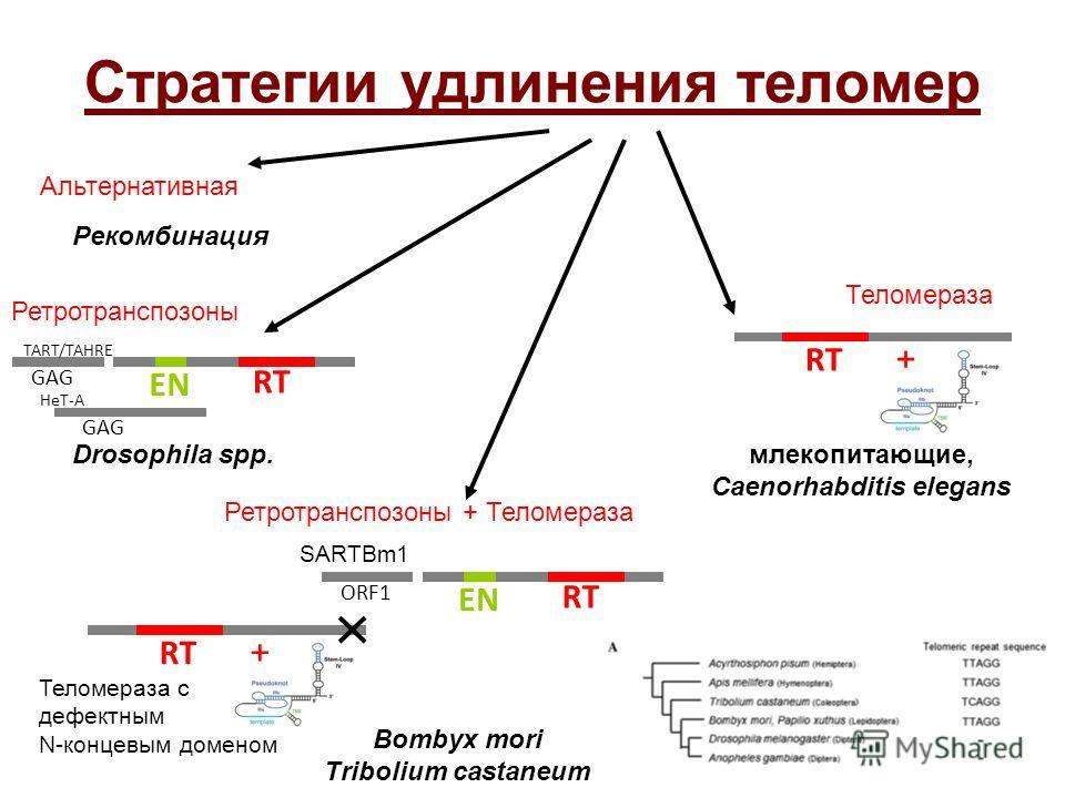 Стратегии удлинения теломер RT + Теломераза млекопитающие, Caenorhabditis elegans GAG RT EN Ретротранспозоны Drosophila spp. Ретротранспозоны + Теломераза GAG TART/TAHRE HeT-A Bombyx mori Tribolium castaneum SARTBm1 ORF1 RT EN RT + Теломераза с дефек