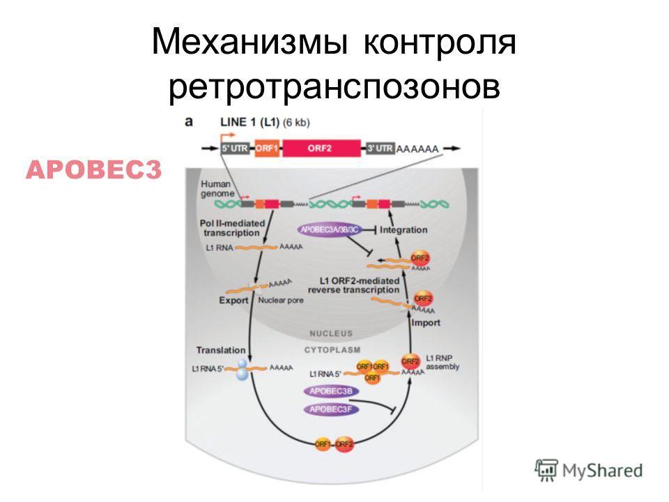 Механизмы контроля ретротранспозонов APOBEC3