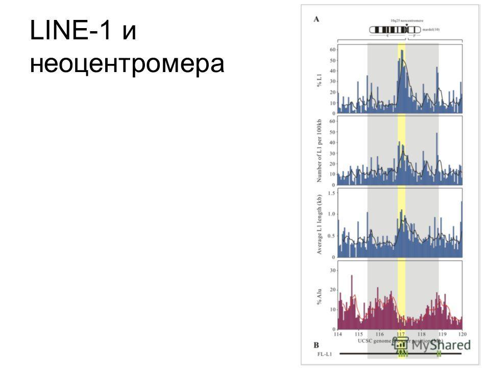 LINE-1 и неоцентромера