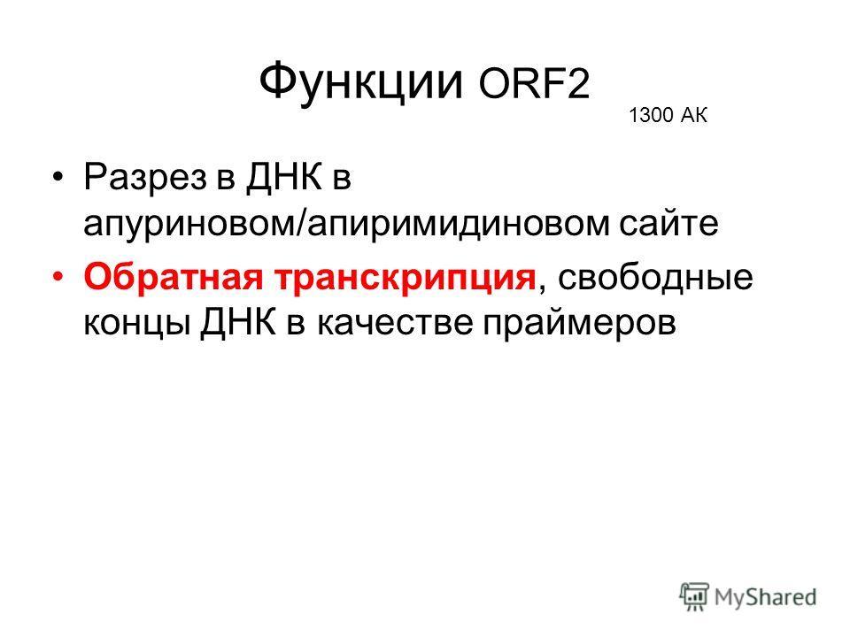 Функции ORF2 Разрез в ДНК в апуриновом/апиримидиновом сайте Обратная транскрипция, свободные концы ДНК в качестве праймеров 1300 АК