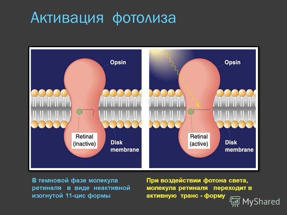 Активация фотолиза В темновой фазе молекула ретиналя в виде неактивной изогнутой 11-цис формы При воздействии фотона света, молекула ретиналя переходит в активную транс - форму
