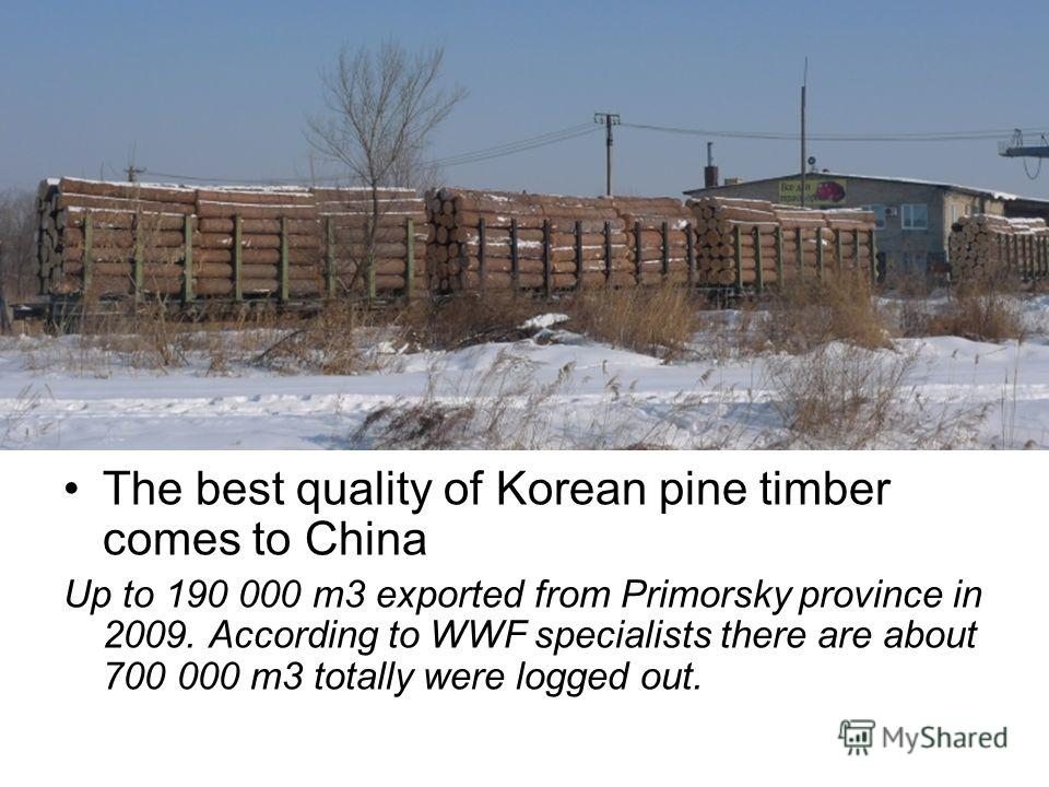 The best quality of Korean pine timber comes to China Up to 190 000 m3 exported from Primorsky province in 2009. According to WWF specialists there are about 700 000 m3 totally were logged out.