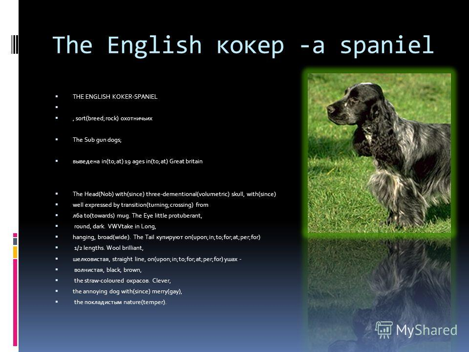The English кокер -a spaniel THE ENGLISH KOKER-SPANIEL, sort(breed;rock) охотничьих The Sub gun dogs; выведена in(to;at) 19 ages in(to;at) Great britain The Head(Nob) with(since) three-dementional(volumetric) skull, with(since) well expressed by tran