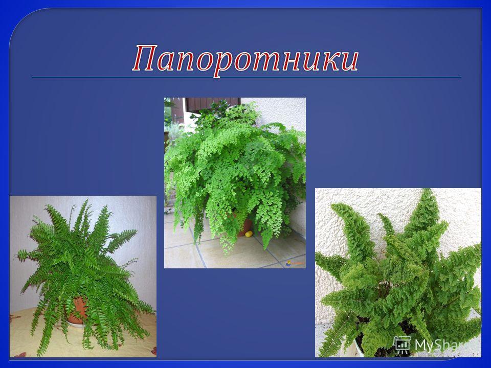 Фикус относится к семейству тутовые и имеет многочисленные виды, родом из тропических и субтропических областей Азии, Африки, Австралии. Это древесные, кустарниковые растения, иногда лианы, их особенность - наличие млечного сока. Большинство имеет ве