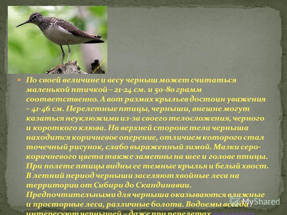 По своей величине и весу черныш может считаться маленькой птичкой – 21-24 см. и 50-80 грамм соответственно. А вот размах крыльев достоин уважения – 41-46 см. Перелетные птицы, черныши, внешне могут казаться неуклюжими из-за своего телосложения, черно