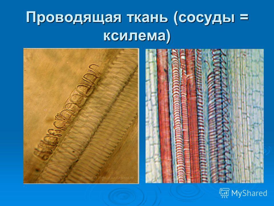 Проводящая ткань (сосуды = ксилема)