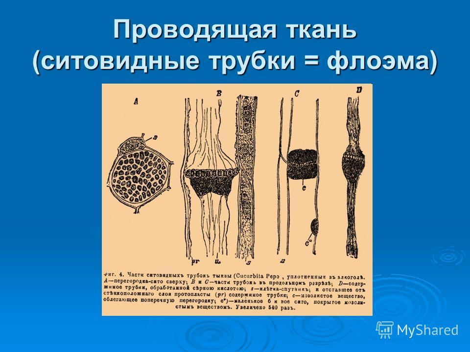 Проводящая ткань (ситовидные трубки = флоэма)