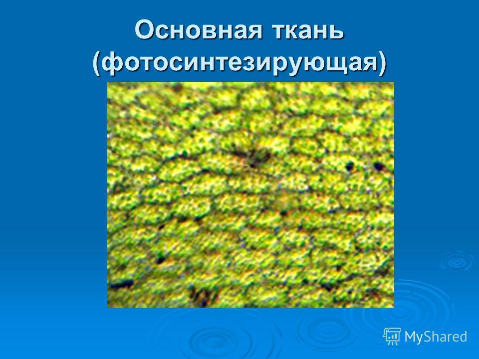 Основная ткань (фотосинтезирующая)