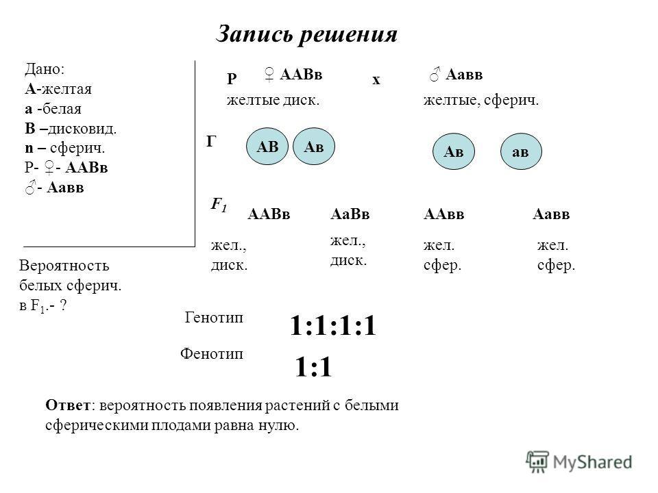Запись решения Дано: А-желтая а -белая В –дисковид. n – сферич. Р- - ААВв - Аавв Вероятность белых сферич. в F 1.- ? Р ААВв Аавв х желтые диск.желтые, сферич. F1 F1 АВ ав Г Ав ААВв жел., диск. АаВв жел., диск. ААвв жел. сфер. Аавв жел. сфер. Генотип