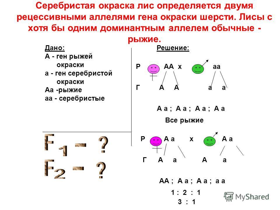 Дано: А - ген рыжей окраски а - ген серебристой окраски Аа -рыжие аа - серебристые Решение: РАА хаа ГА а А а ; А а ; А а ; А а Все рыжие РА ах Г А а А а АА ; А а ; А а ; а а 1 : 2 : 1 3 : 1 Серебристая окраска лис определяется двумя рецессивными алле