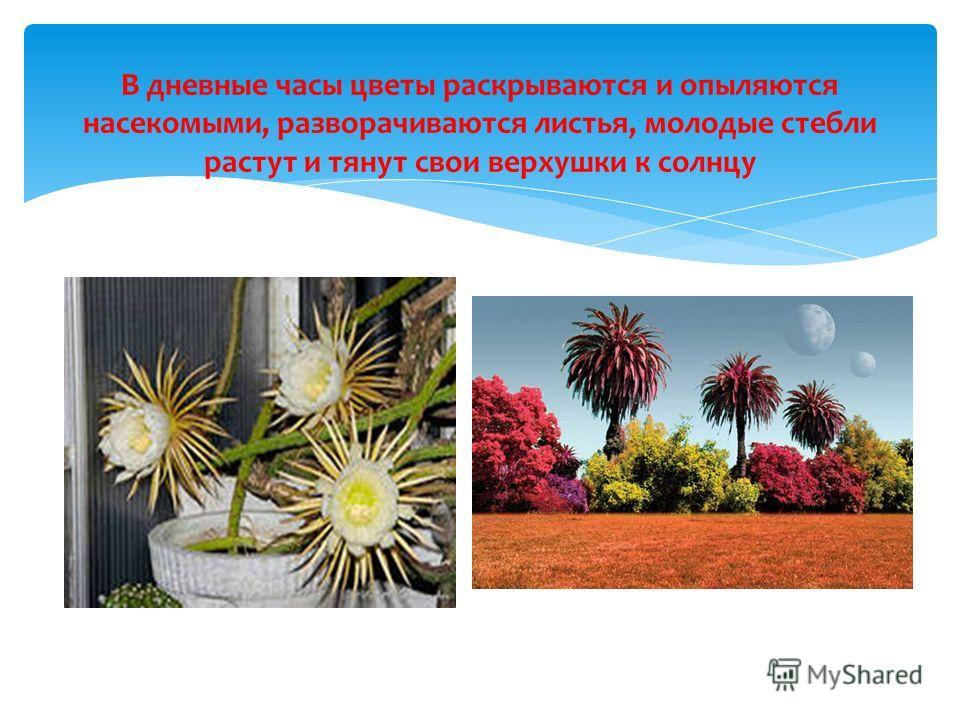 В дневные часы цветы раскрываются и опыляются насекомыми, разворачиваются листья, молодые стебли растут и тянут свои верхушки к солнцу