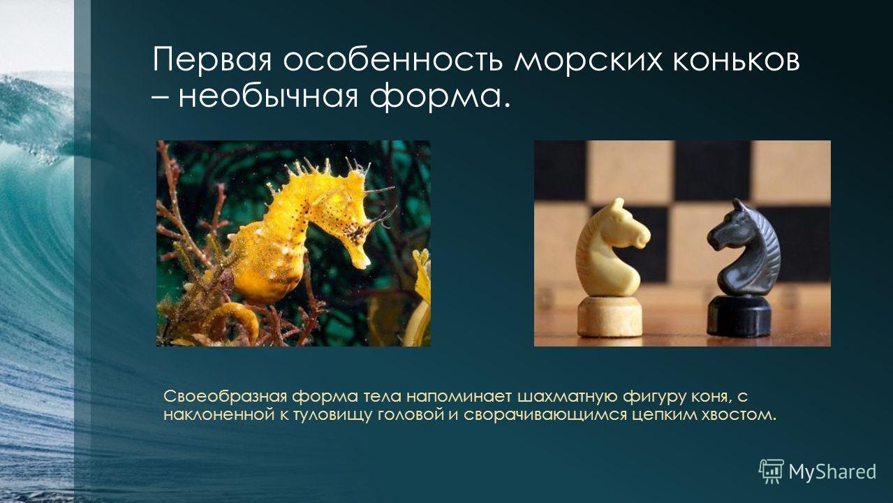 Первая особенность морских коньков – необычная форма. Своеобразная форма тела напоминает шахматную фигуру коня, с наклоненной к туловищу головой и сворачивающимся цепким хвостом.