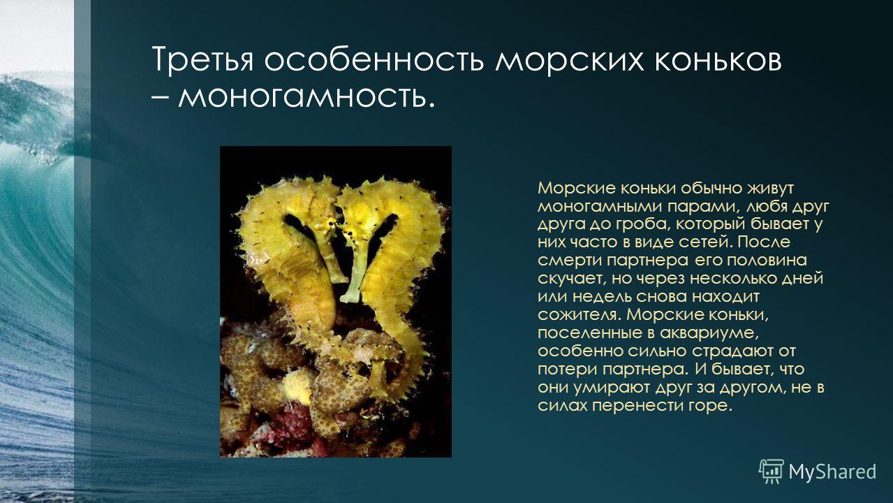 Третья особенность морских коньков – моногамность. Морские коньки обычно живут моногамными парами, любя друг друга до гроба, который бывает у них часто в виде сетей. После смерти партнера его половина скучает, но через несколько дней или недель снова