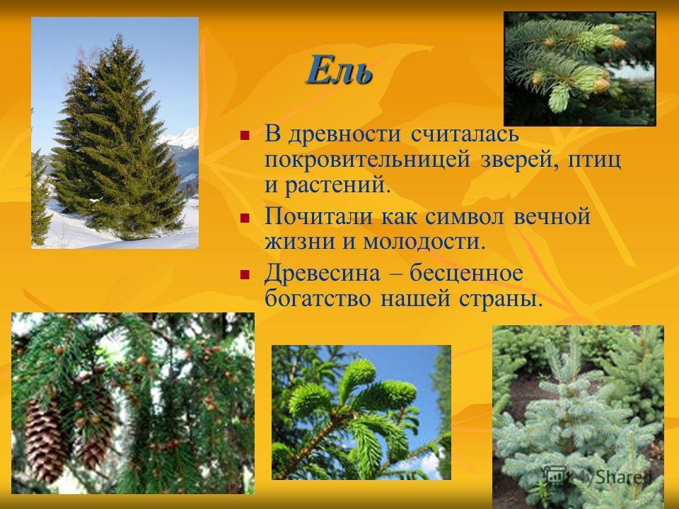 Ель В древности считалась покровительницей зверей, птиц и растений. Почитали как символ вечной жизни и молодости. Древесина – бесценное богатство нашей страны.