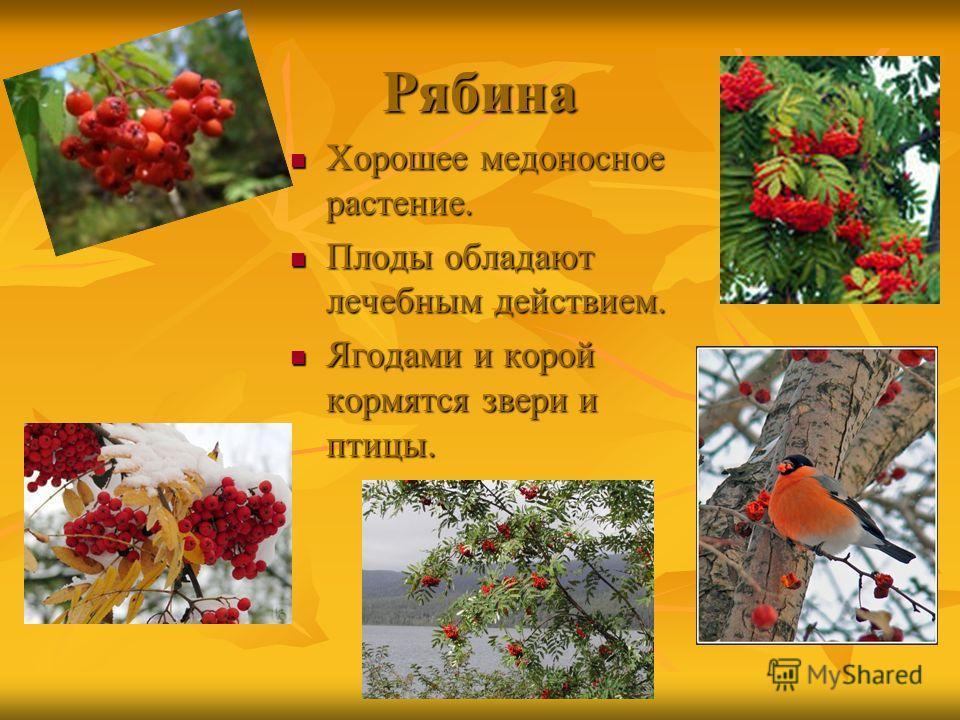 Рябина Хорошее медоносное растение. Хорошее медоносное растение. Плоды обладают лечебным действием. Плоды обладают лечебным действием. Ягодами и корой кормятся звери и птицы. Ягодами и корой кормятся звери и птицы.