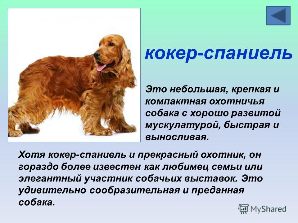 кокер-спаниель Это небольшая, крепкая и компактная охотничья собака с хорошо развитой мускулатурой, быстрая и выносливая. Хотя кокер-спаниель и прекрасный охотник, он гораздо более известен как любимец семьи или элегантный участник собачьих выставок.
