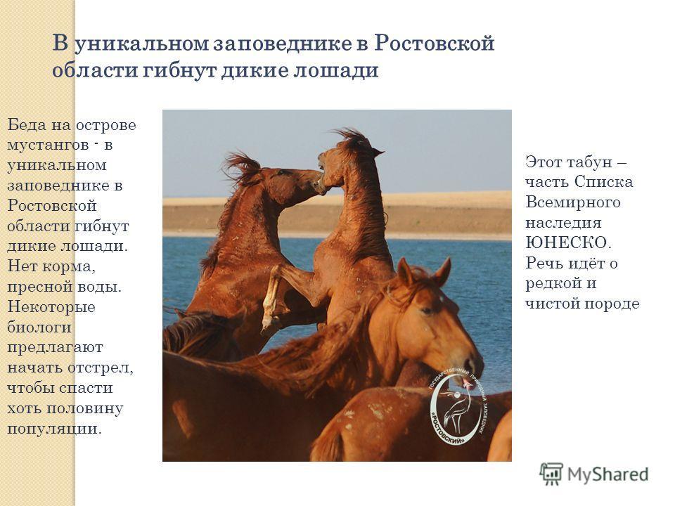 В уникальном заповеднике в Ростовской области гибнут дикие лошади Беда на острове мустангов - в уникальном заповеднике в Ростовской области гибнут дикие лошади. Нет корма, пресной воды. Некоторые биологи предлагают начать отстрел, чтобы спасти хоть п