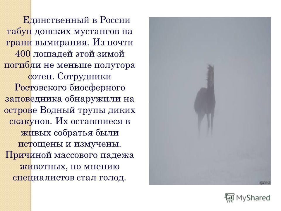 Единственный в России табун донских мустангов на грани вымирания. Из почти 400 лошадей этой зимой погибли не меньше полутора сотен. Сотрудники Ростовского биосферного заповедника обнаружили на острове Водный трупы диких скакунов. Их оставшиеся в живы